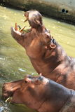 Dual Hippopotamus Stock Photography