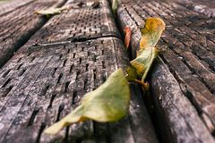 Dual leaves in boards. Dry leaves resting on old weathered wood Stock Photo