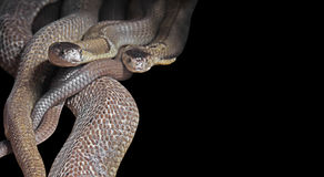 Dual Monocled Cobra on Black Background, Clipping Path Stock Images