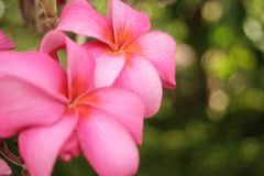 Dual spring blossom Stock Images
