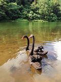 Dual swans. Two black swans in Pang-oung Royalty Free Stock Image