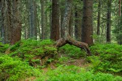 Dual tree trunk. It seems like a tree is standing on its own two legs. Carpathian National Nature Park in Ukraine. The trail to the alpine lake Nesamovyte stock photo
