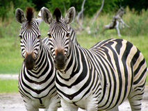 Dual Zebras. Two Zebras looking straight into the camera Stock Photography
