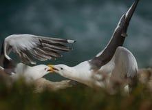 Dualing Seagulls in La Jolla, California Stock Photography