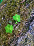 Duality. Green clover on the trunk of tree Royalty Free Stock Photos