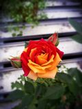 Duality. Red and yellow rose Royalty Free Stock Image