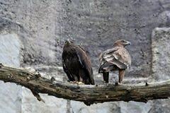 Duas águias. fotografia de stock royalty free