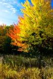Duas árvores coloridas Fotos de Stock