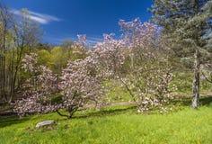 Duas árvores de florescência cor-de-rosa em um monte de inclinação do grentle no pa natural Imagem de Stock Royalty Free