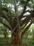 Duas árvores diferentes que crescem junto Foto de Stock