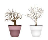 Duas árvores isométricas abstratas de Brown no potenciômetro de flor Foto de Stock Royalty Free