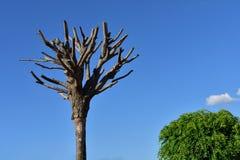 Duas árvores - mortos um o outro vivo fotos de stock
