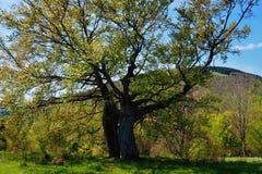 Duas árvores na mola Imagens de Stock