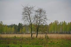 Duas árvores no campo - uma metáfora de pares do amor A natureza de Rússia do norte prado do deserto da paisagem, understory e ca Fotos de Stock