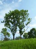 Duas árvores novas Fotografia de Stock
