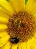 Duas abelhas imagem de stock