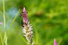 Duas abelhas na crista florescem no campo foto de stock