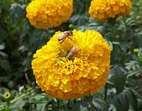 Duas abelhas pequenas que recolhem o néctar em uma flor de florescência amarela vibrante do cravo-de-defunto Imagens de Stock Royalty Free