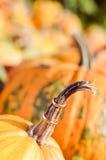 Duas alianças de casamento no close up da decoração da abóbora Fotos de Stock Royalty Free