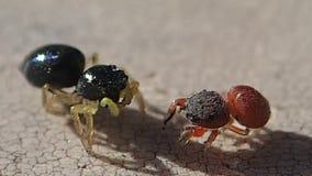 Duas aranhas de salto filme