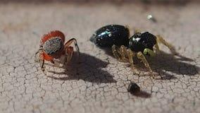 Duas aranhas de salto em um lugar pegajoso vídeos de arquivo