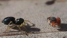 Duas aranhas de salto, um vermelho e um preto video estoque