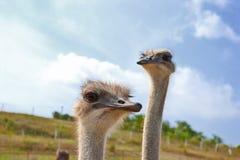 Duas avestruzes Fotos de Stock Royalty Free