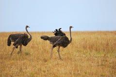 Duas avestruzes Imagens de Stock