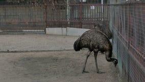 Duas avestruzes cinzentas em um jardim zoológico perto da gaiola video estoque