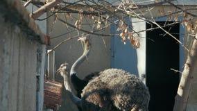 Duas avestruzes comem do camelus do struthio do alimentador video estoque