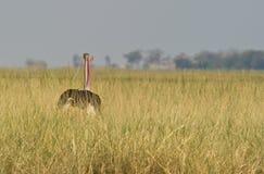 Duas avestruzes em uma Imagem de Stock