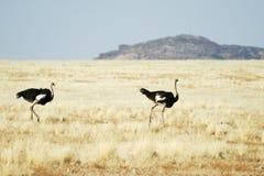 Duas avestruzes no savana, Namíbia Imagens de Stock