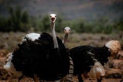 Duas avestruzes no selvagem fotografia de stock