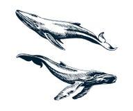 Duas baleias azuis e de corcunda Foto de Stock