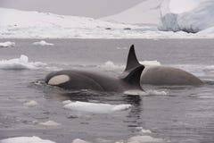 Duas baleias de assassino Imagens de Stock