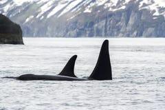 Duas baleias de assassino orca, península de Kamchatka, Rússia fotografia de stock royalty free