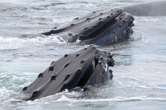Baleia de Humpback Imagem de Stock