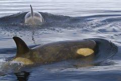 Duas baleias fêmeas da orca ou de assassino que nadam no Antarctic Imagem de Stock