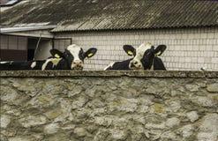 Duas bezerras, com as etiquetas de identificação amarelas em suas orelhas, que posição atrás de uma parede de pedra Foto de Stock Royalty Free
