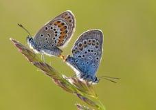 Duas borboletas fotografia de stock royalty free