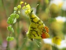 Duas borboletas alaranjadas marroquinas da ponta Fotografia de Stock