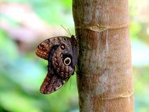 Duas borboletas de Caligo Atreus Fotografia de Stock Royalty Free