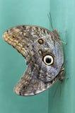 Duas borboletas de Caligo spp que mostram o mimetismo Fotografia de Stock Royalty Free