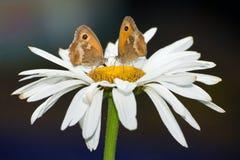 Duas borboletas em uma flor Fotografia de Stock