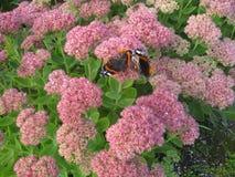 Duas borboletas estão jogando em flores cor-de-rosa imagens de stock royalty free