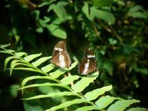 Duas borboletas na folha da samambaia Foto de Stock Royalty Free