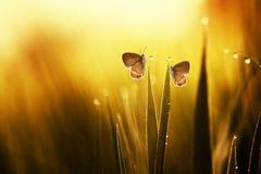 Duas borboletas nas folhas imagens de stock