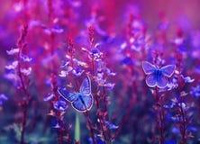 Duas borboletas pequenas bonitas de Ícaro do golubyanka sentam-se em um prado de florescência em flores lilás e cor-de-rosa em um foto de stock royalty free