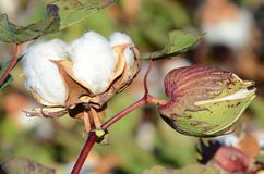 Duas cápsulas do algodão que preparam-se para a colheita fotos de stock royalty free