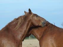 Duas cabeças de cavalo fotos de stock royalty free